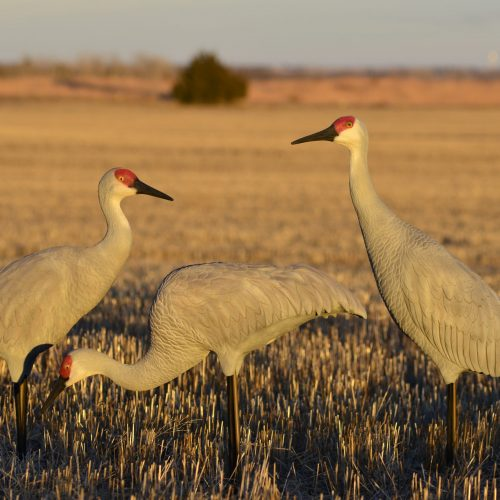 DSC0198 2 scaled 500x500 - Sandhill Crane 3 pack
