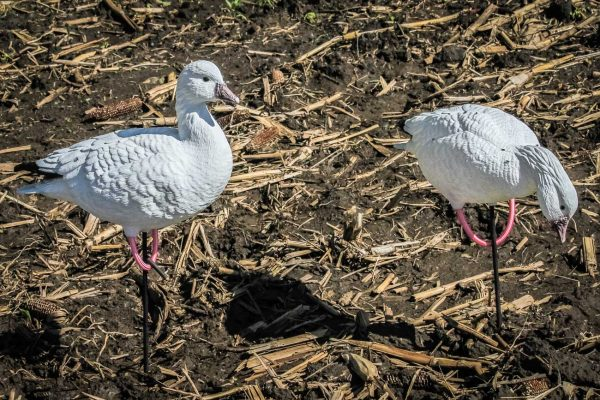 ross goose decoy 1 - deception decoys